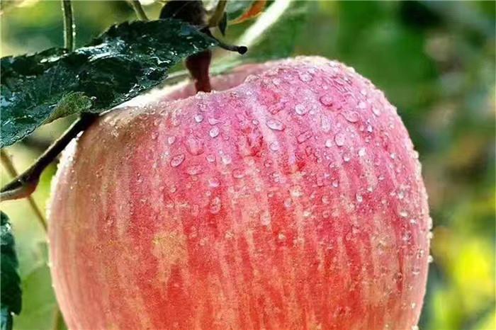 广安市红颜草莓苗嫁接时间和方法
