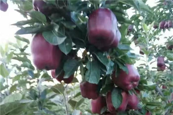 臨沂市溫室草莓苗批發價格多少錢