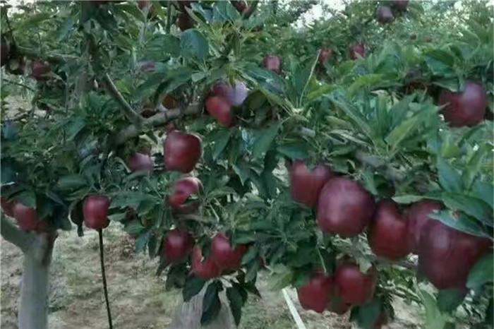 紅河豐香草莓苗大型基地