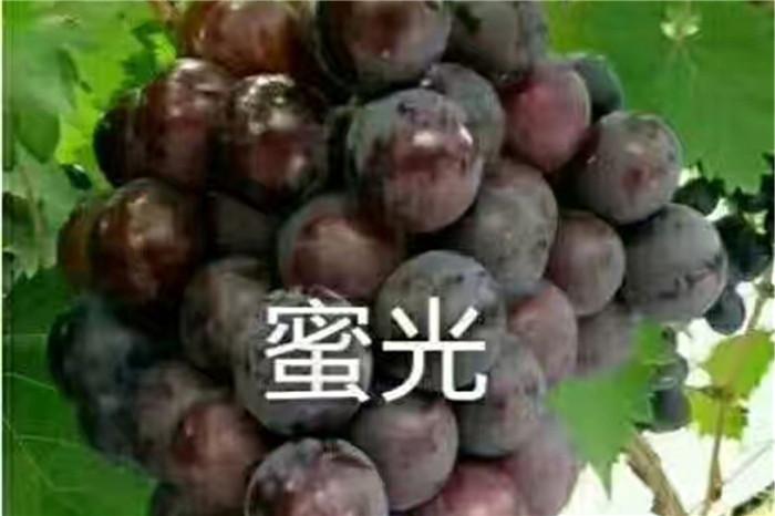 鸡西市耐寒蓝莓苗哪里有规模化种植基地头条