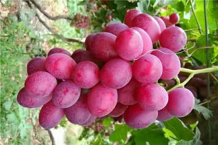 衢州市甜查理草莓苗批发价格多少钱
