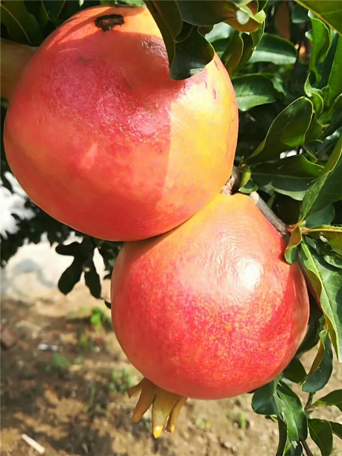 太原市达塞莱克特草莓苗批发基地
