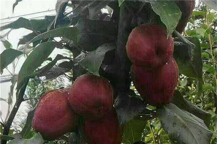 玉林市优质桃树苗批发多少钱