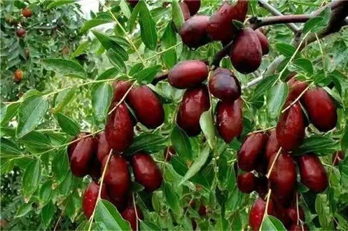 太原市法兰地草莓苗批发基地