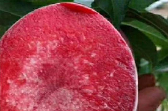 广安市佐贺清香草莓苗多少钱一颗