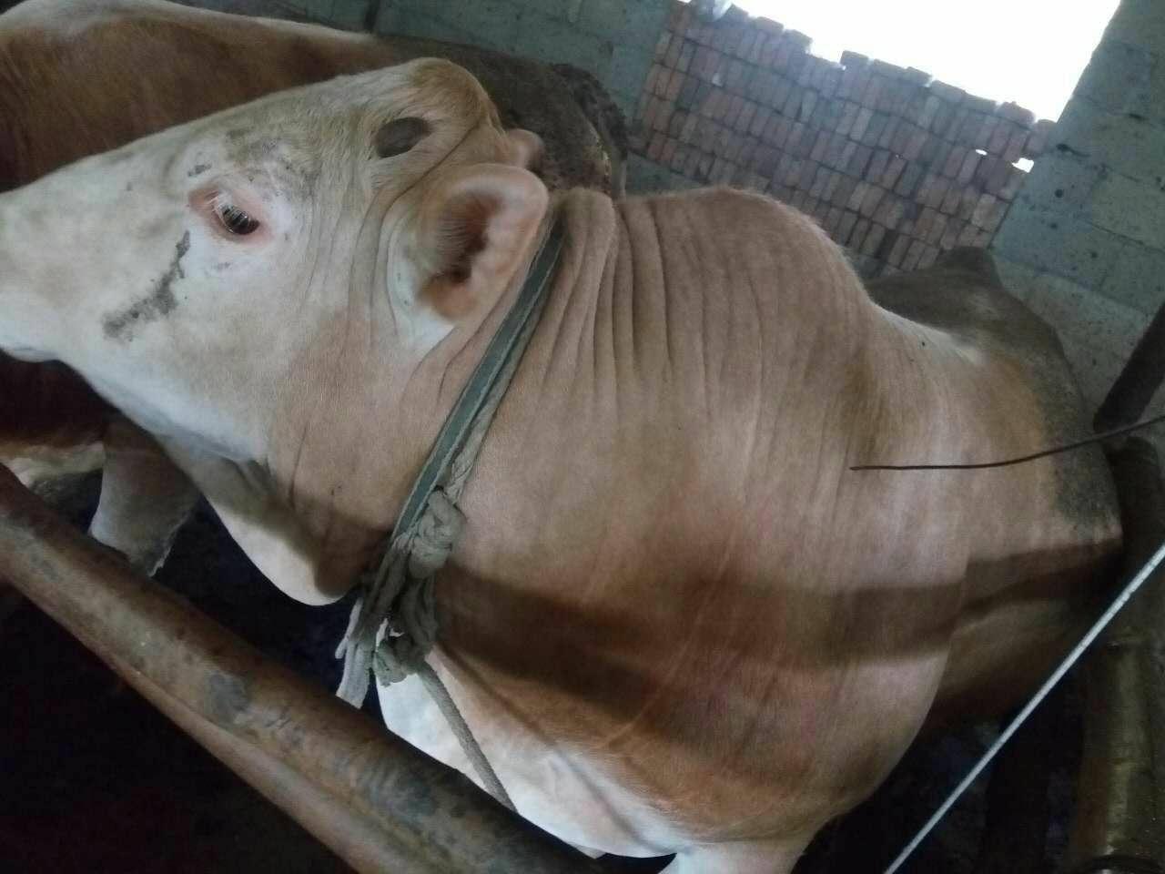 河北秦皇�u肉羊�A混料育肥羊的效益