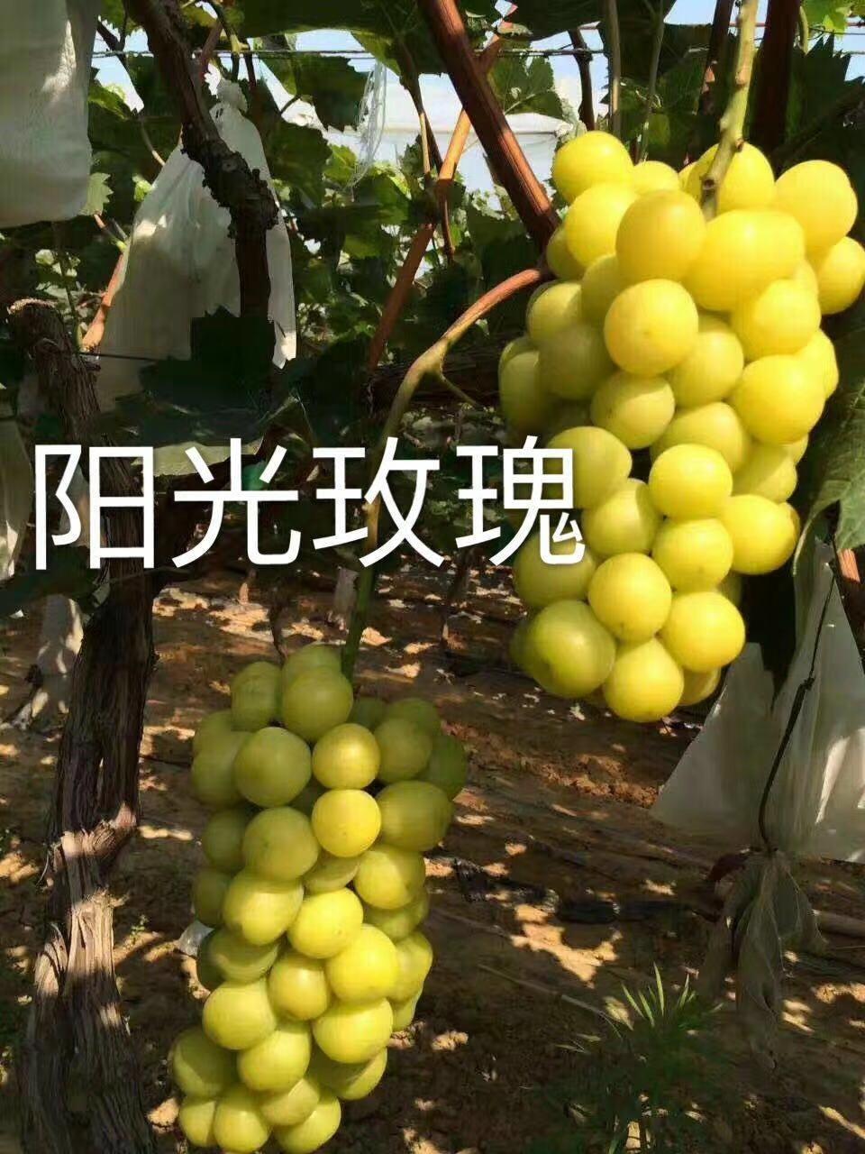 江苏苏州脆光葡萄苗哪里有欢迎来电咨询
