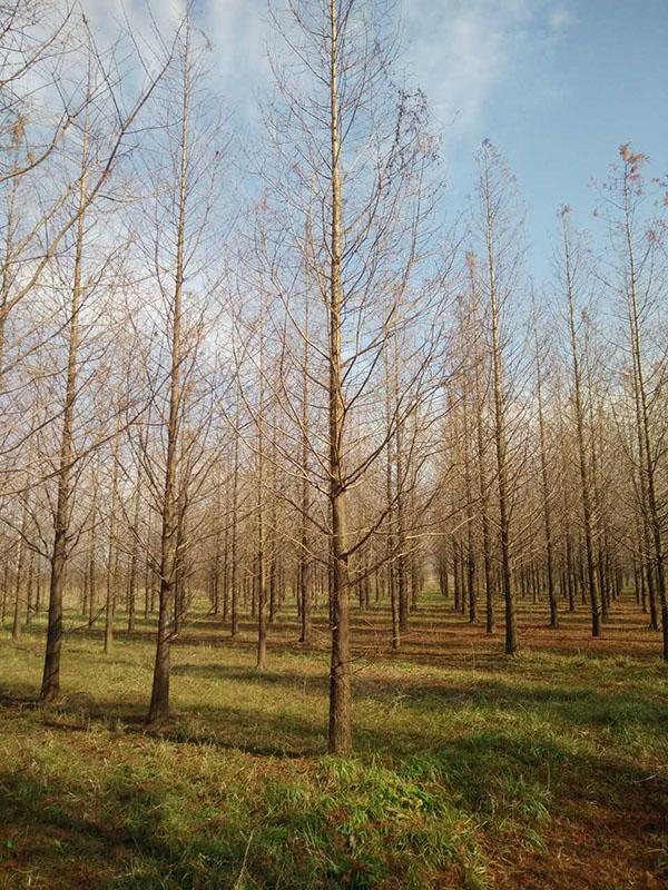 阿拉尔一二三年生水杉自产自销