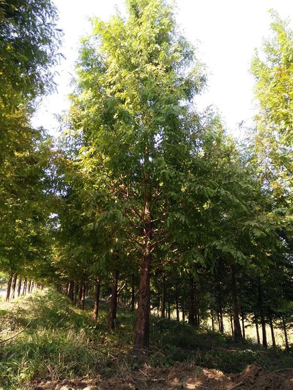 石河子13-15公分水杉多少钱一棵