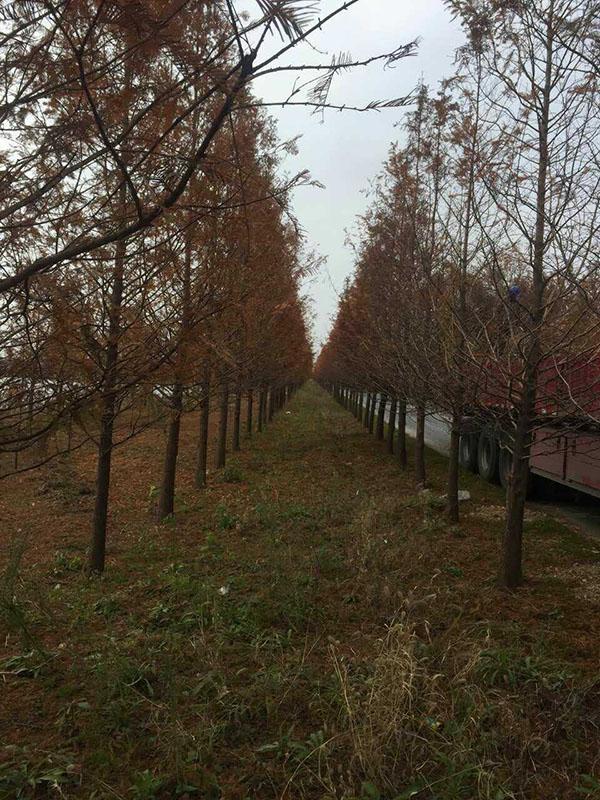 布尔津县水杉成品树基地直销