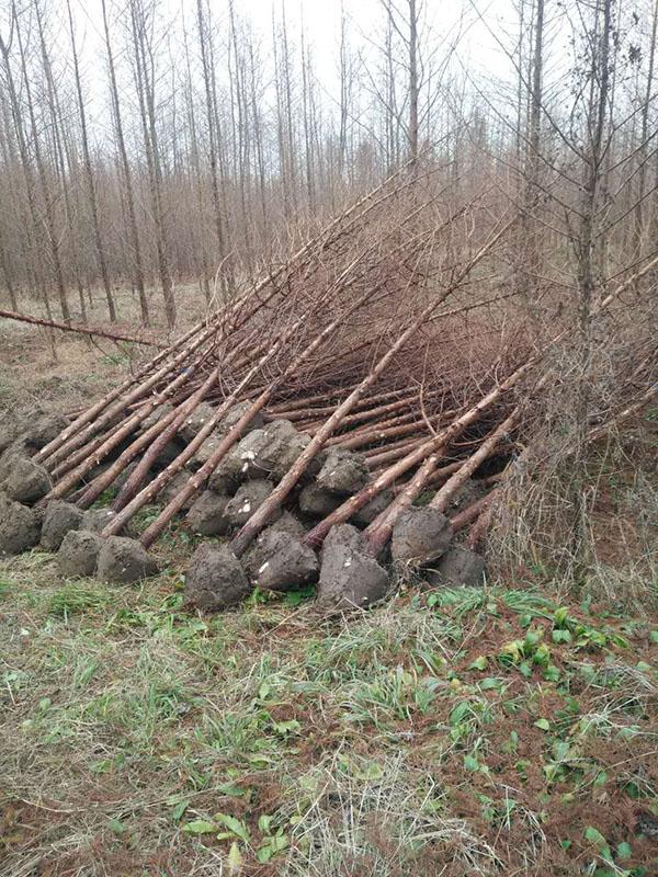 五家渠水杉成品树品质优良、品种齐全