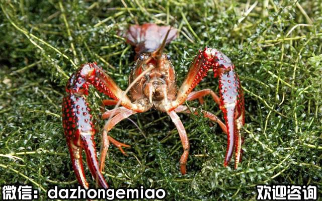 衡水小龙虾苗今日报价-小龙虾苗繁殖