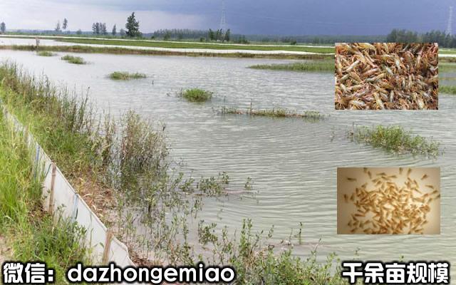 文登小龙虾苗今日报价-小龙虾苗繁殖