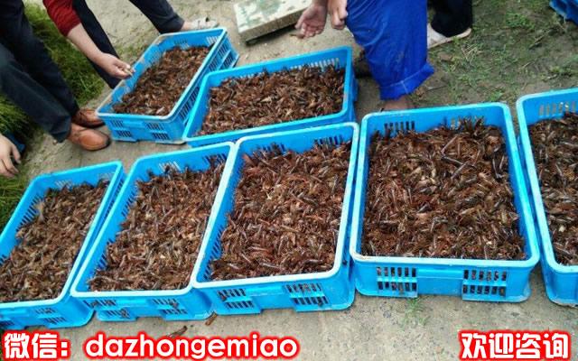 大港区小龙虾苗今日报价-小龙虾苗繁殖