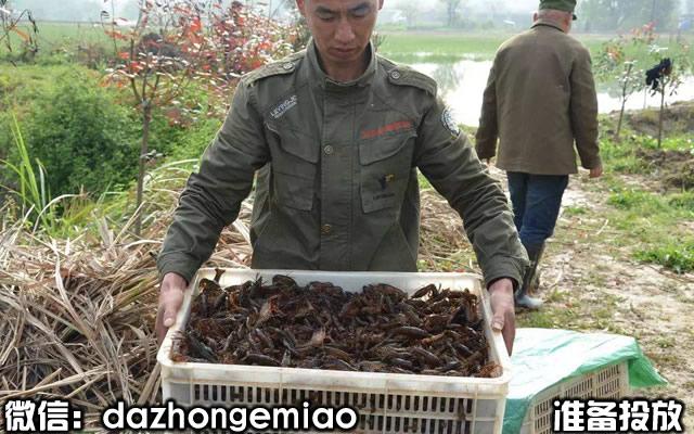 洛川县小龙虾苗今日报价-小龙虾苗繁殖