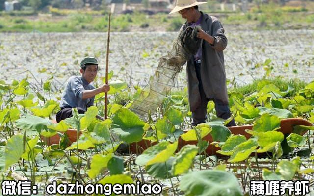 蒙阴县小龙虾苗今日报价-小龙虾苗繁殖