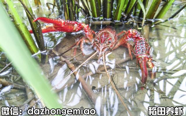 崇信县小龙虾苗今日报价-小龙虾苗繁殖