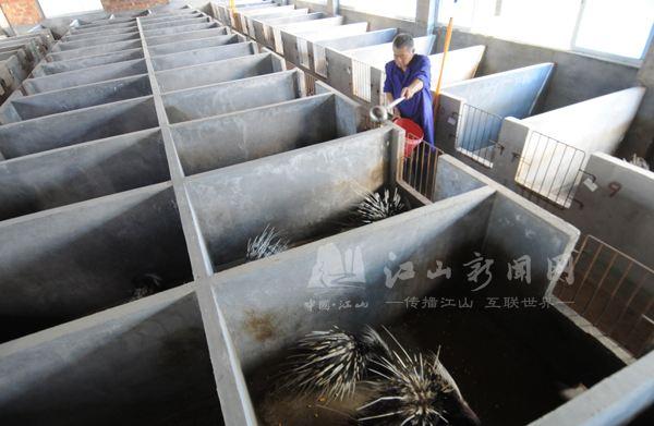 新疆伊犁市豪猪养殖场 豪猪种苗价格 适合养殖豪猪吗多少钱一斤 豪猪价格