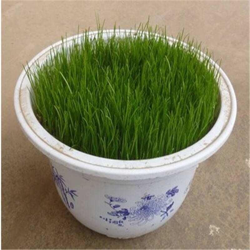 绿化湖北草坪种子当前价格