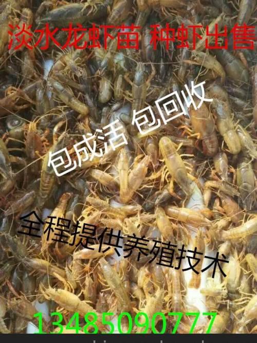 现在龙虾苗多少钱一斤 合肥龙虾苗养殖基地