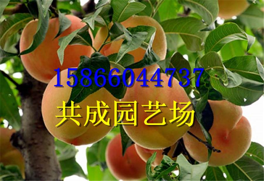 江西吉安哪里有嫁接花椒树苗中心
