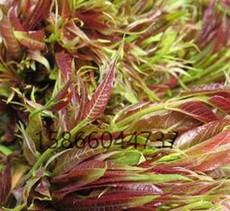 江西宜春草莓苗-草莓苗金年��r