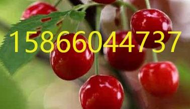 新疆�豸�木�R甜��草莓苗-草莓苗金年��r