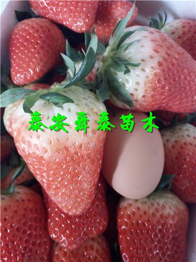 海南海口红太阳梨树苗哪里才卖批发多少钱才卖供应厂家