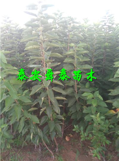 青海玉树中华寿桃树苗育苗中心