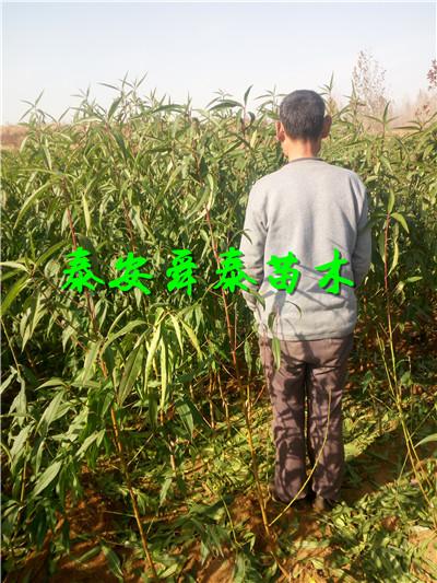 浙江嘉兴巨红苗种苗批发