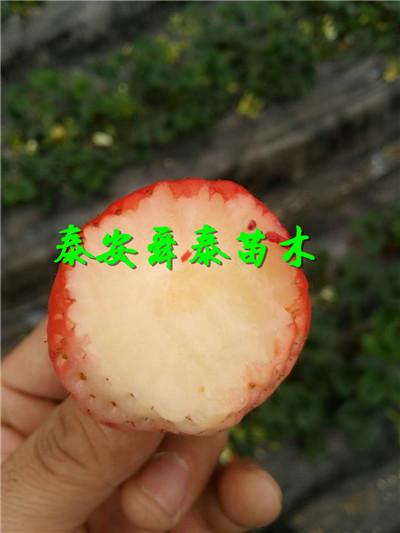 黑龙江大兴安岭晚秋黄梨树苗价格