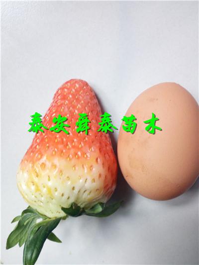 東莞1公分錦銹黃桃樹苗春季優惠
