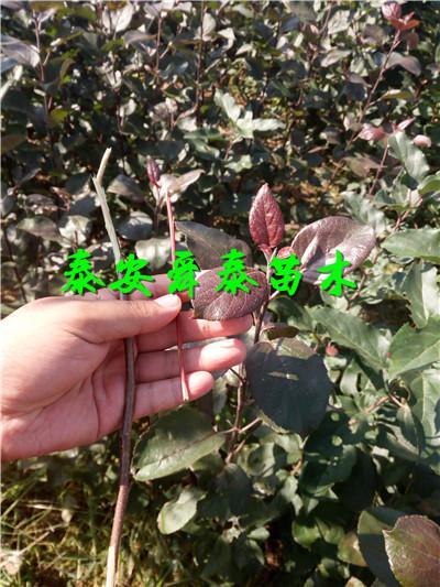 云浮2公分超早红蜜桃树苗附近厂家