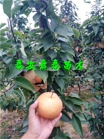 南京1年苗梨树苗公司