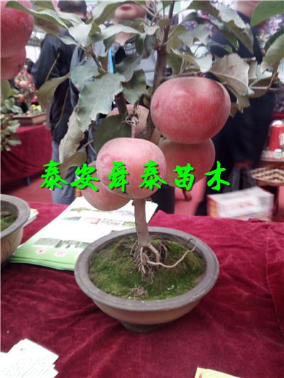 兴安1公分黄桃树苗主产区基地