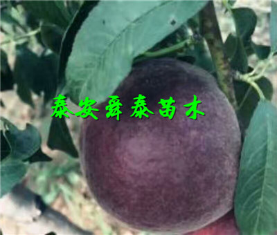 衡水2公分优良品种桃树苗点击查询