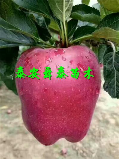 南寧3公分紅梨樹苗量大價廉