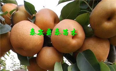 文山2公分超早红蜜桃树苗多少钱