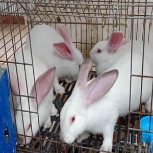 供甘肃肉兔养殖和兰州兔肉