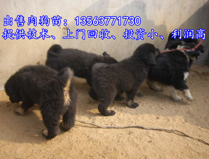 山�|���_肉食狗�B殖�鲑��X�崦鞔笕夤佛B殖���