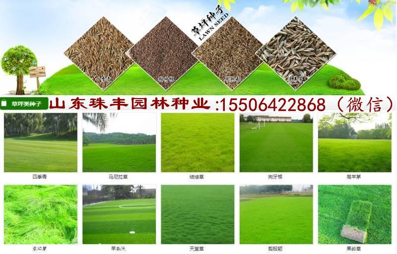 安徽省冬季牧草種子品種怎么樣