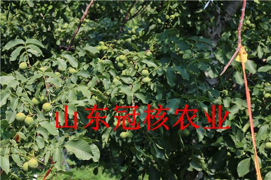 核桃树栽植核桃树适应什么样的土质