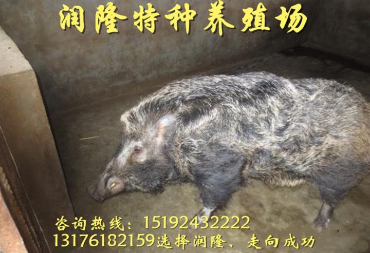 廣安小型野豬養殖場大概需要多少錢