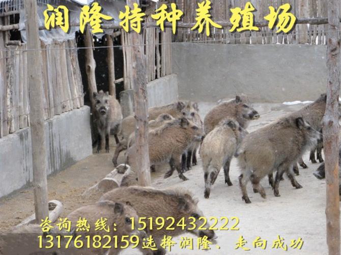 黔东南2出售野猪苗特种野猪价格多少钱一斤全程跟踪技术指导