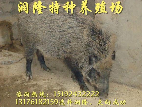 朔州純種野豬苗能養殖嗎