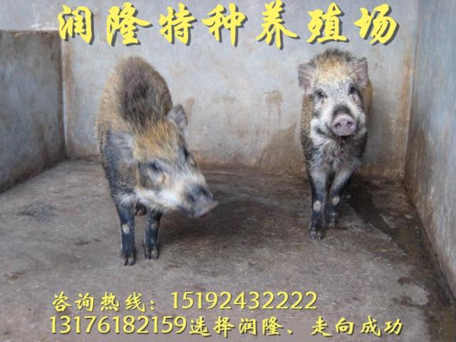 興安一只純種野豬苗價格