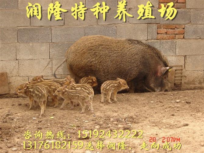 甘南野豬苗20斤的多少錢一只科學養殖
