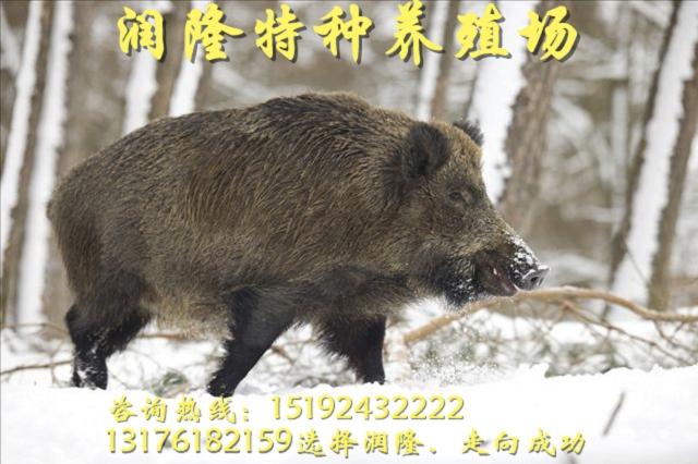 梧州市場上野豬肉多少錢一斤