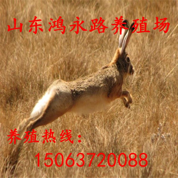 滨州杂交野兔多少钱一只、杂交野兔饲养成本