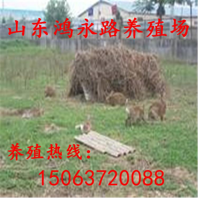 赤峰一只杂交野兔种兔多少钱、2018种兔价格